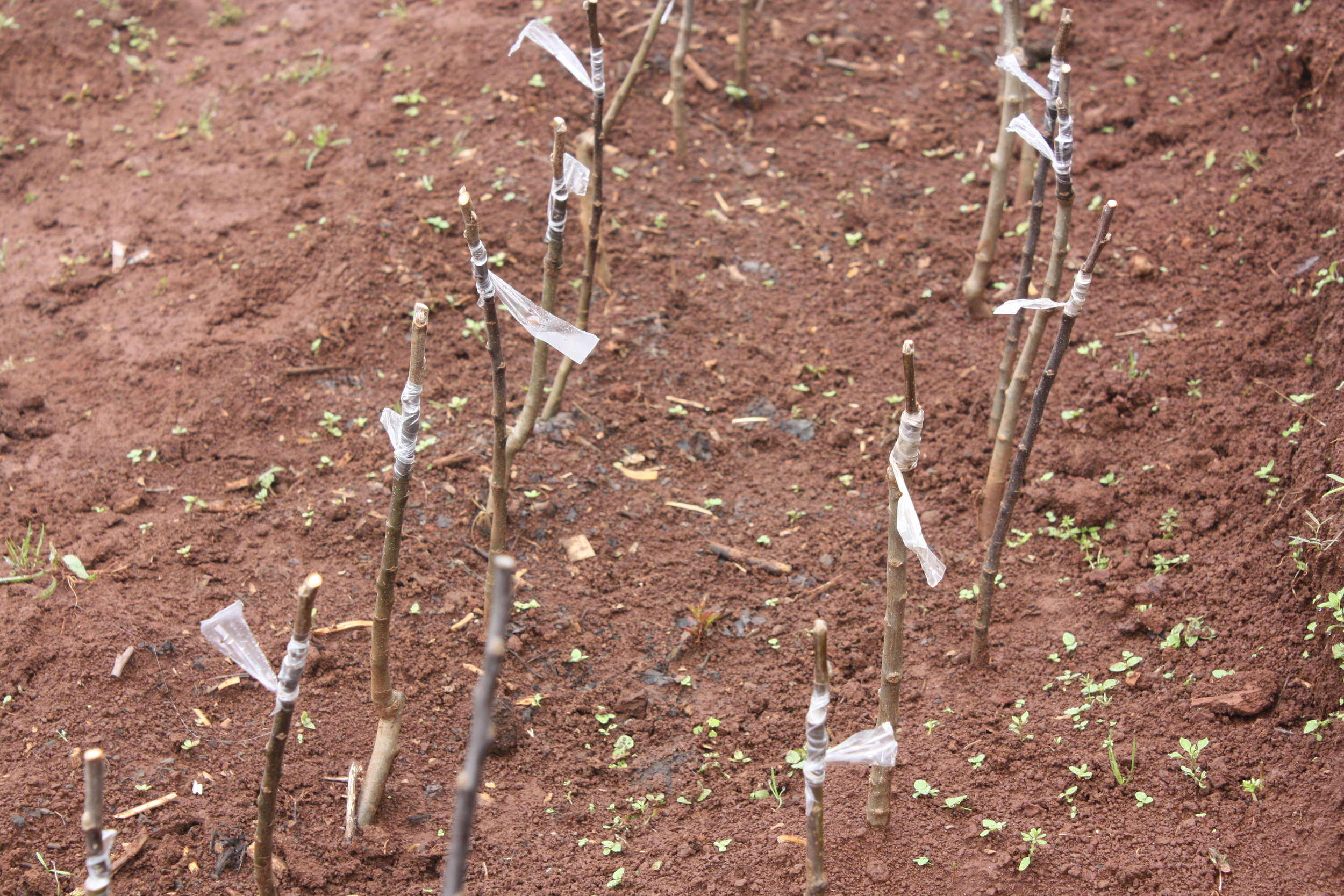 Freshly grafted seedlings