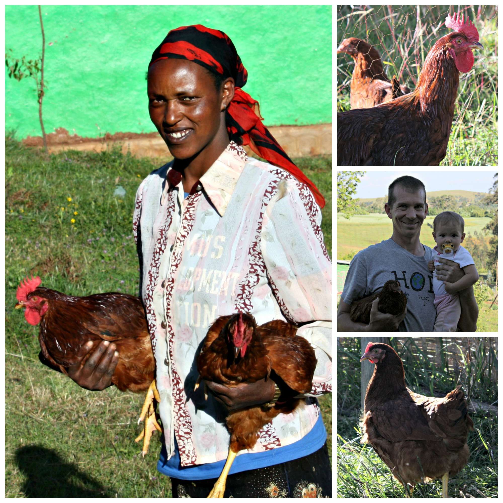Chicken hatchery collage