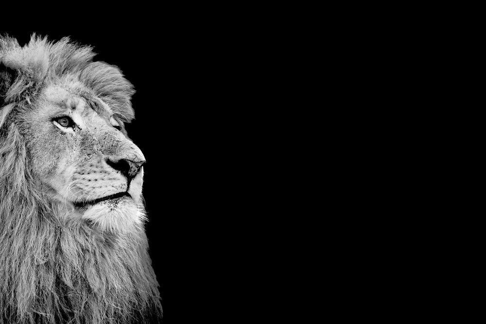 Wie der Löwe könig wurde. - Die Erfindung einer wahren Geschichte.