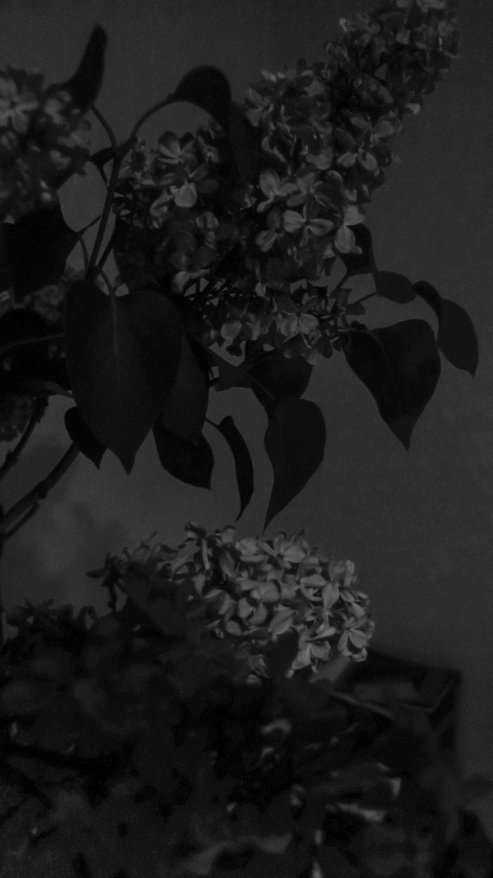 Black Lilac 2, 2017