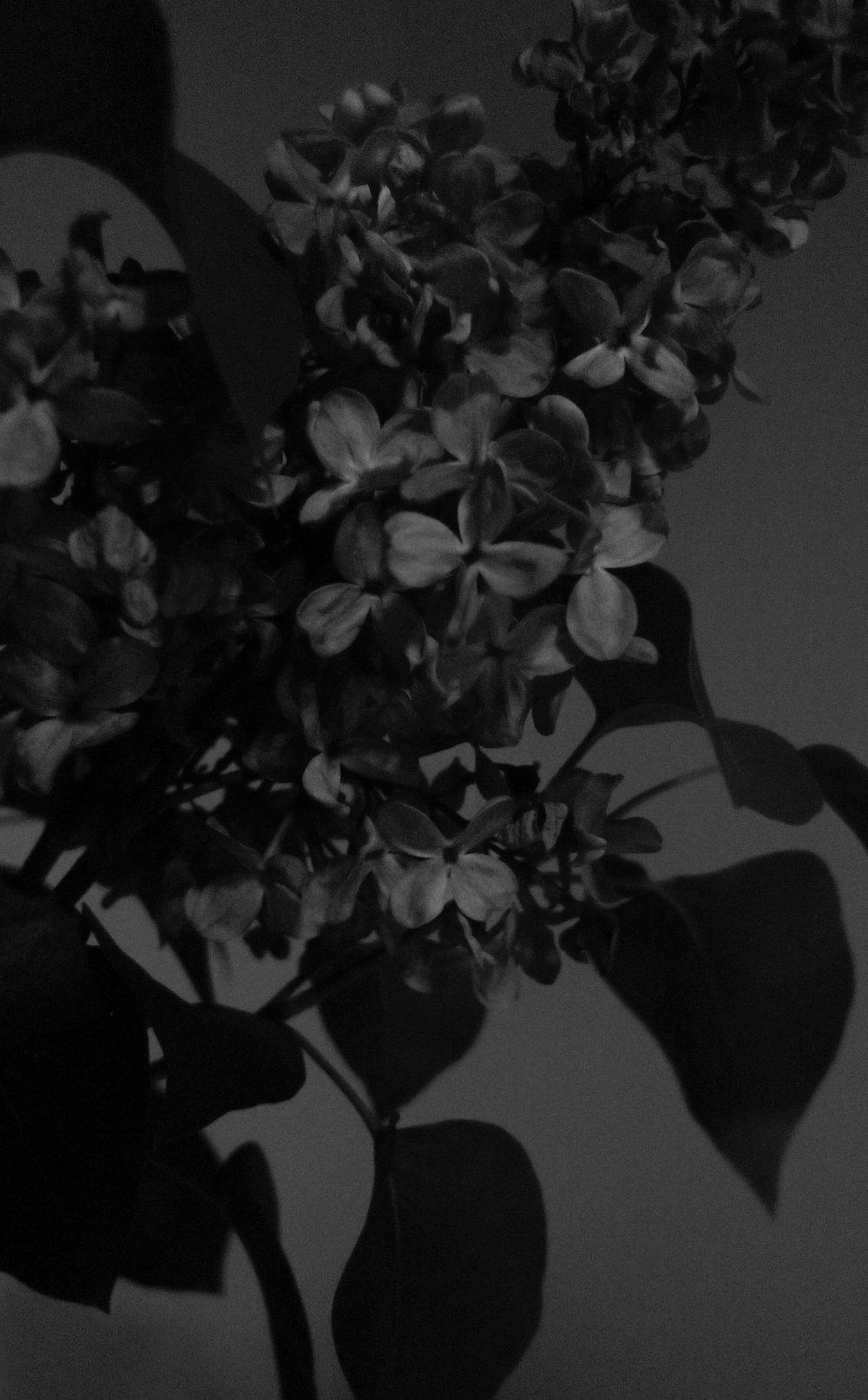 Black Lilac 1, 2017