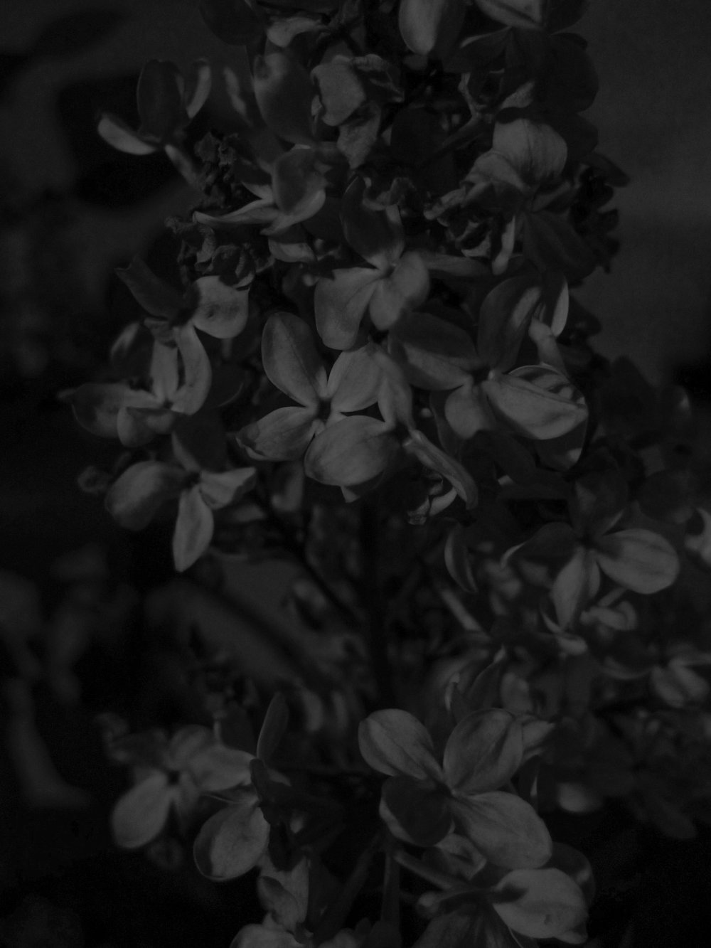 Black Lilac 3, 2017