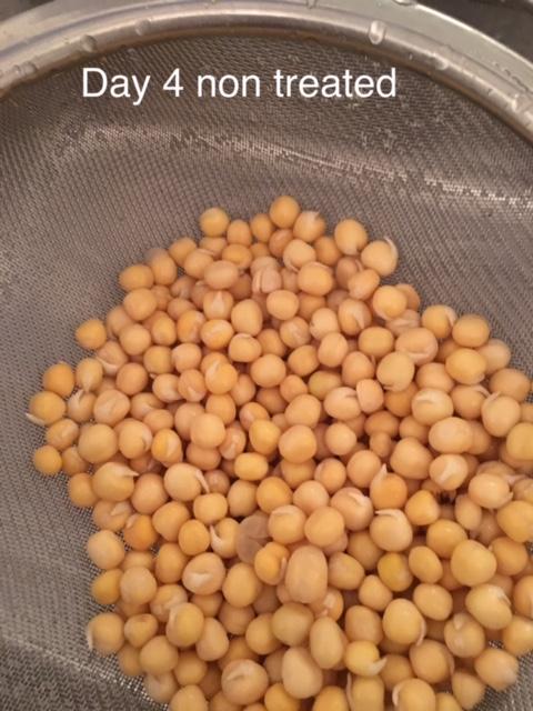 Day 4 peas non treated