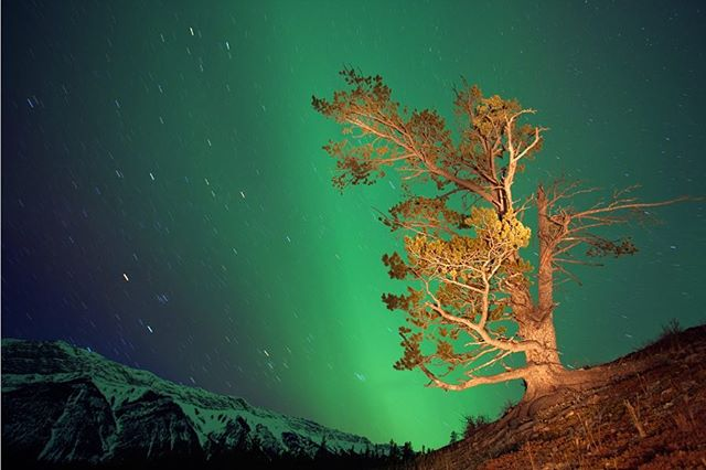 Limber pine and Northern Lights. Bighorn Backcountry, Treaty 6. 📷 Darwin Wiggett