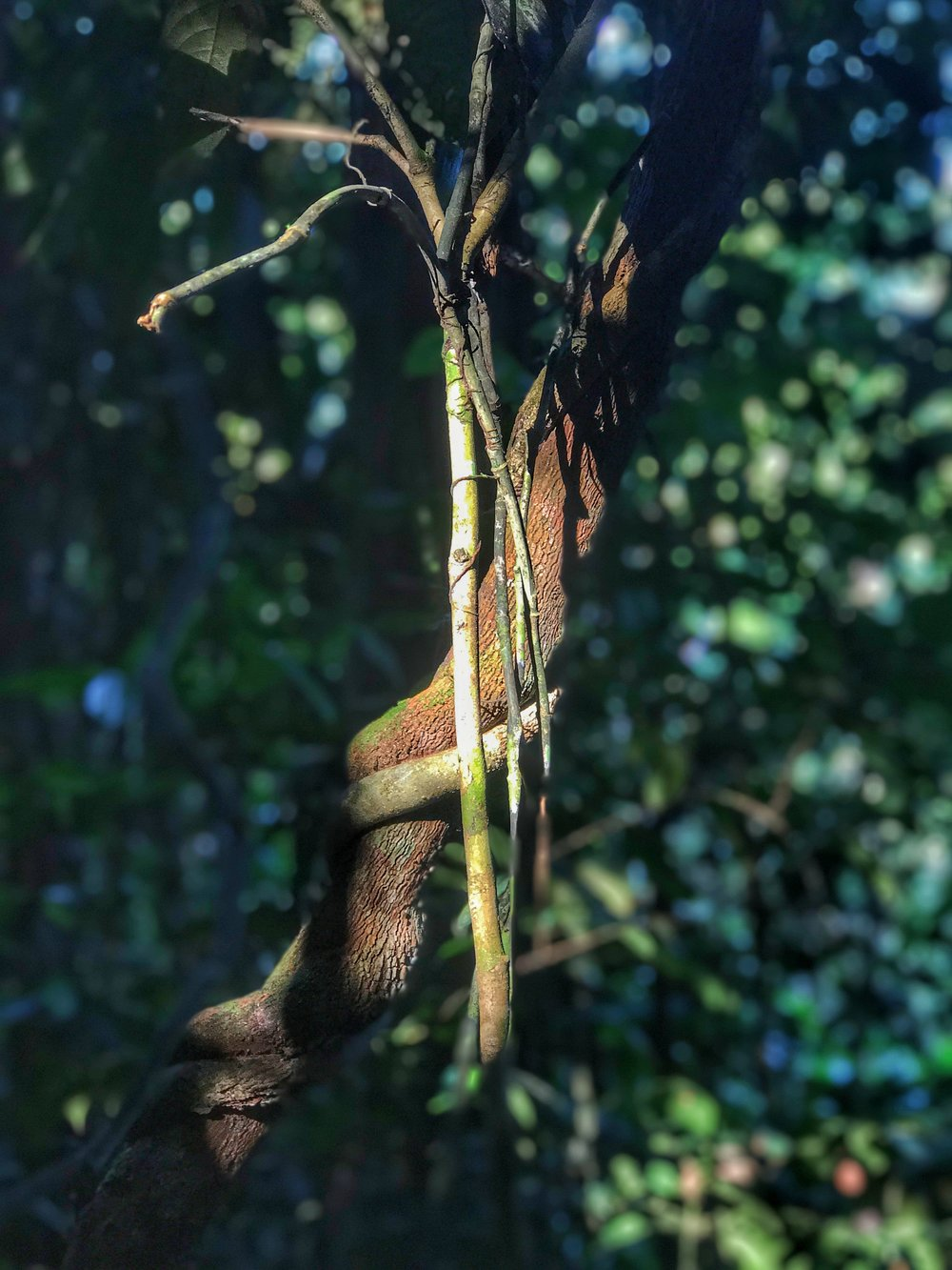 Not an Ayahuasca vine, but just the sun hitting a tree in a way that captured my attention.