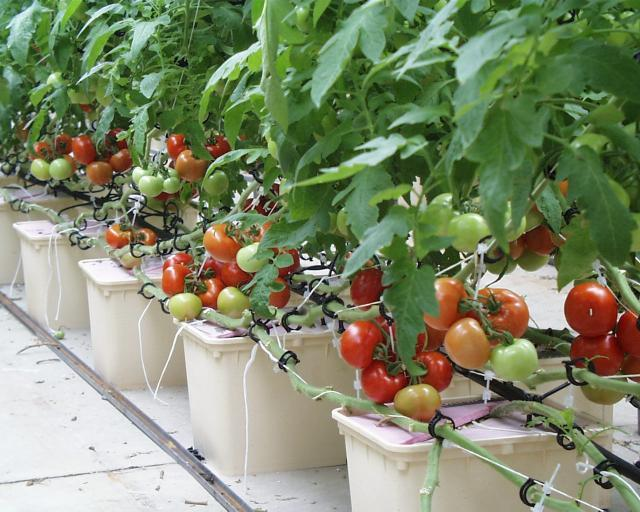 Local Growing of Tomatoes to save the environment