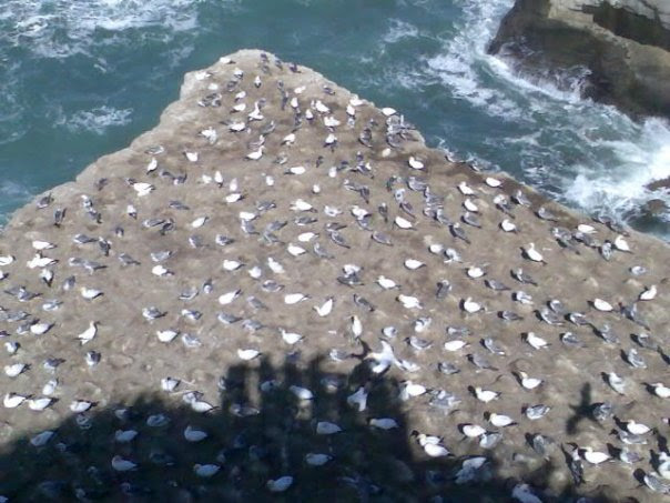 GANET COLONY | MURIWAI BEACH