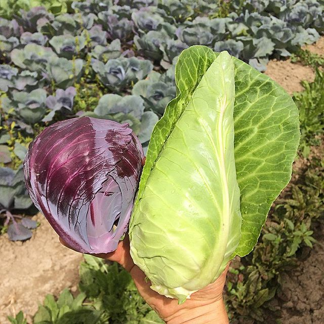 Coleslaw! Coleslaw! Coleslaw! Come and get it @kelownafarmersmarket tomorrow.  These cabbages are almost as sweet as their farmer. ;)