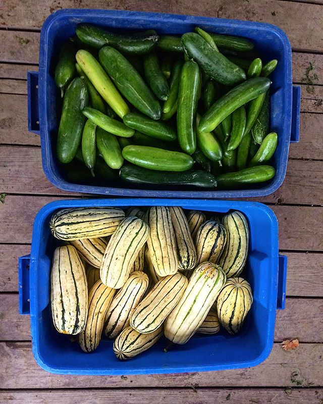 A real vegetable harvest dichotomy if I've ever seen one. The only two things I had left to harvest for market.  I'm imagining a little tiny torch being passed from the queen cuke to the queen squash. ❤️