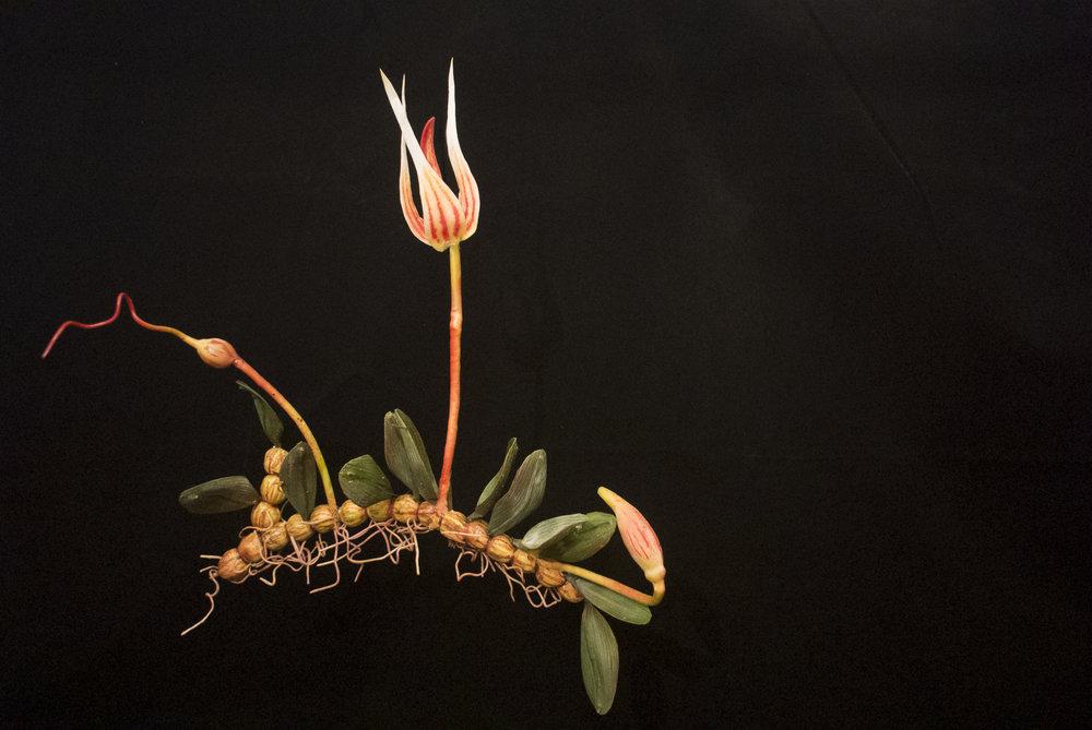 END10 Bulbophyllum Belliae
