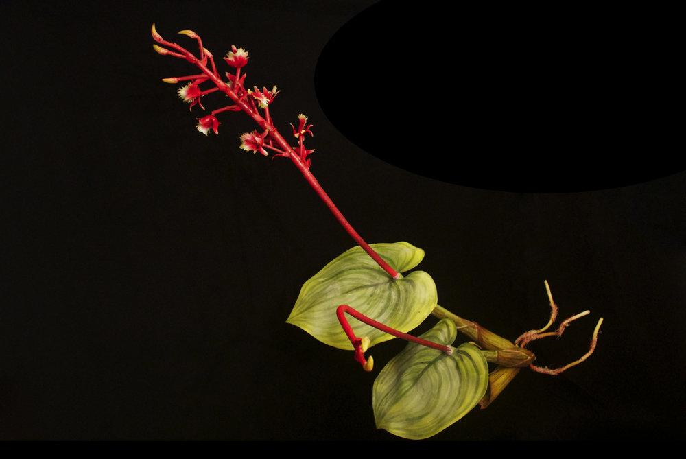 END59 Liparis Kamborangensis