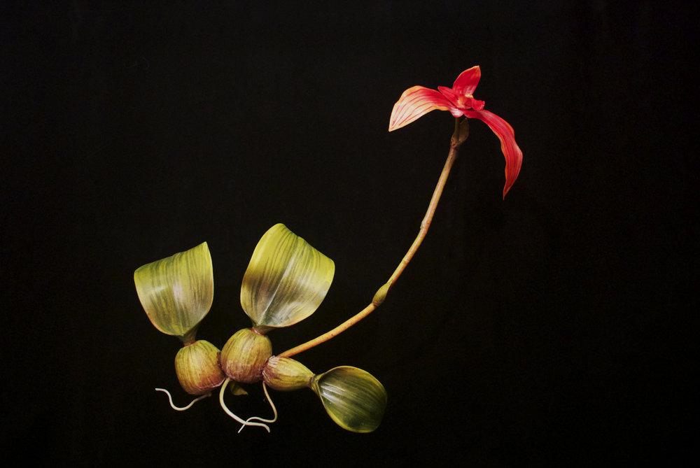 END12 Bulbophyllum Latisepalum