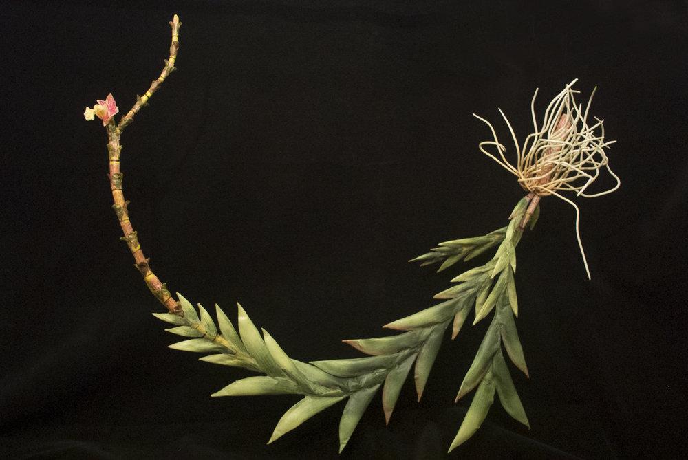 END34 Dendrobium Lohanense