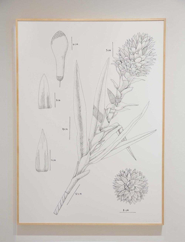PIT#12 Bromelia Tilandsia (Bromelia Pineapple Flower)