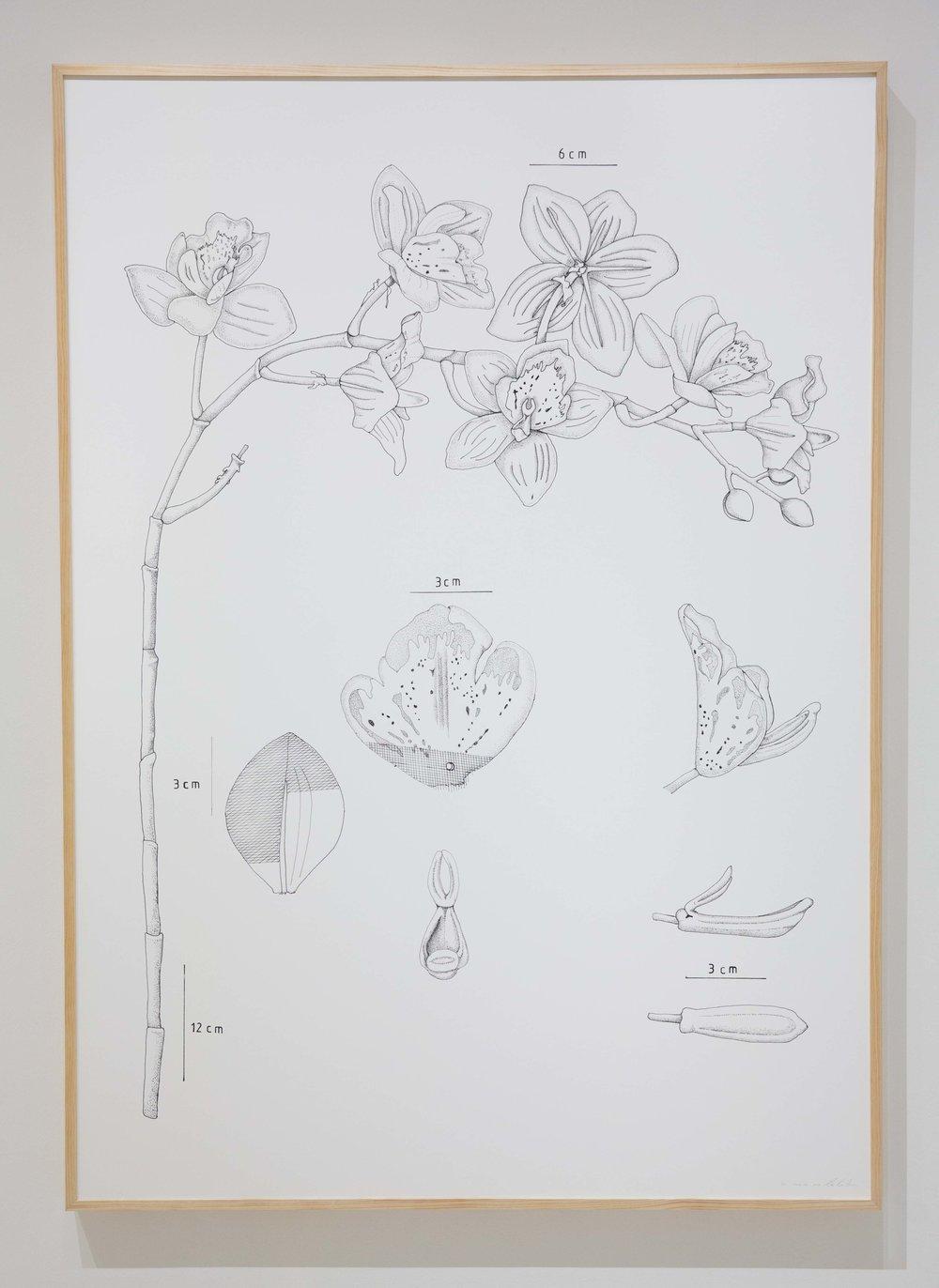 PIT#9 Dendrobium (Orchid)