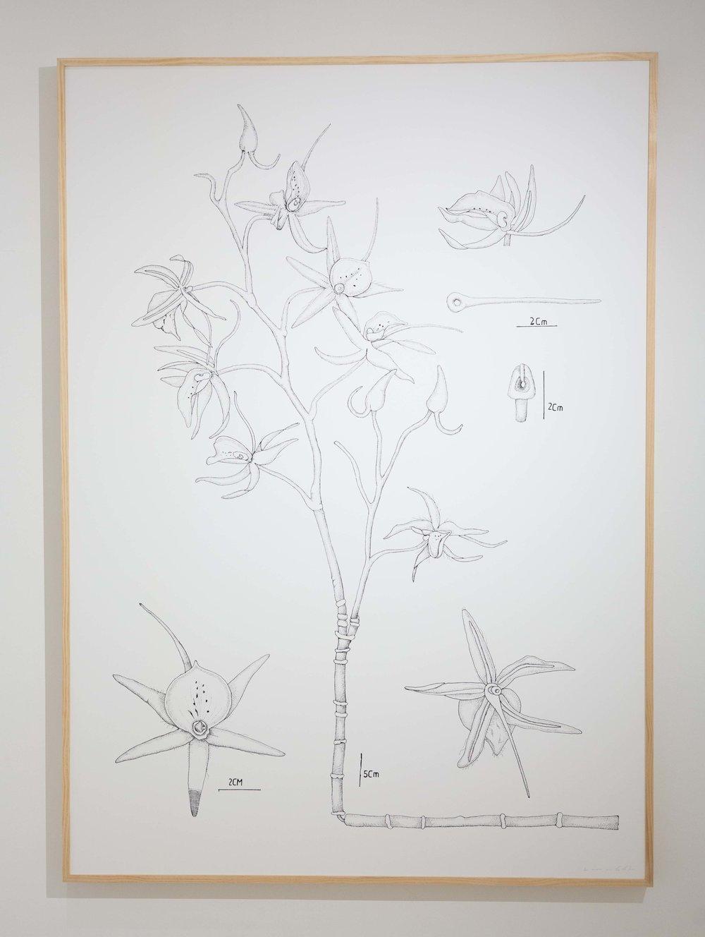 PIT#19 Ophrys Sphegodes (Spider Orchid)