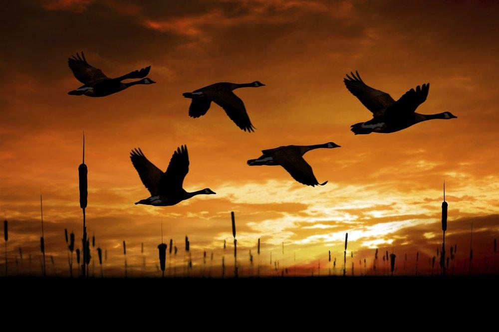 migratory Canada Geese in flight_iStock-000010656644Large.jpg