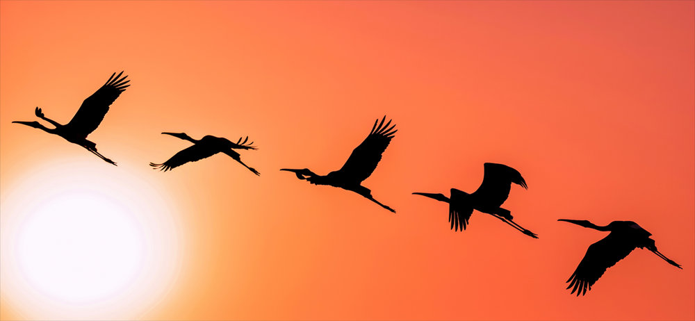 migratory Panoramic_Silhouette_of_Painted_Stork_flying_against_the_setting_Sun.jpg