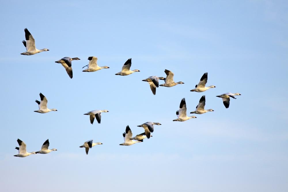 migratory stork.jpg