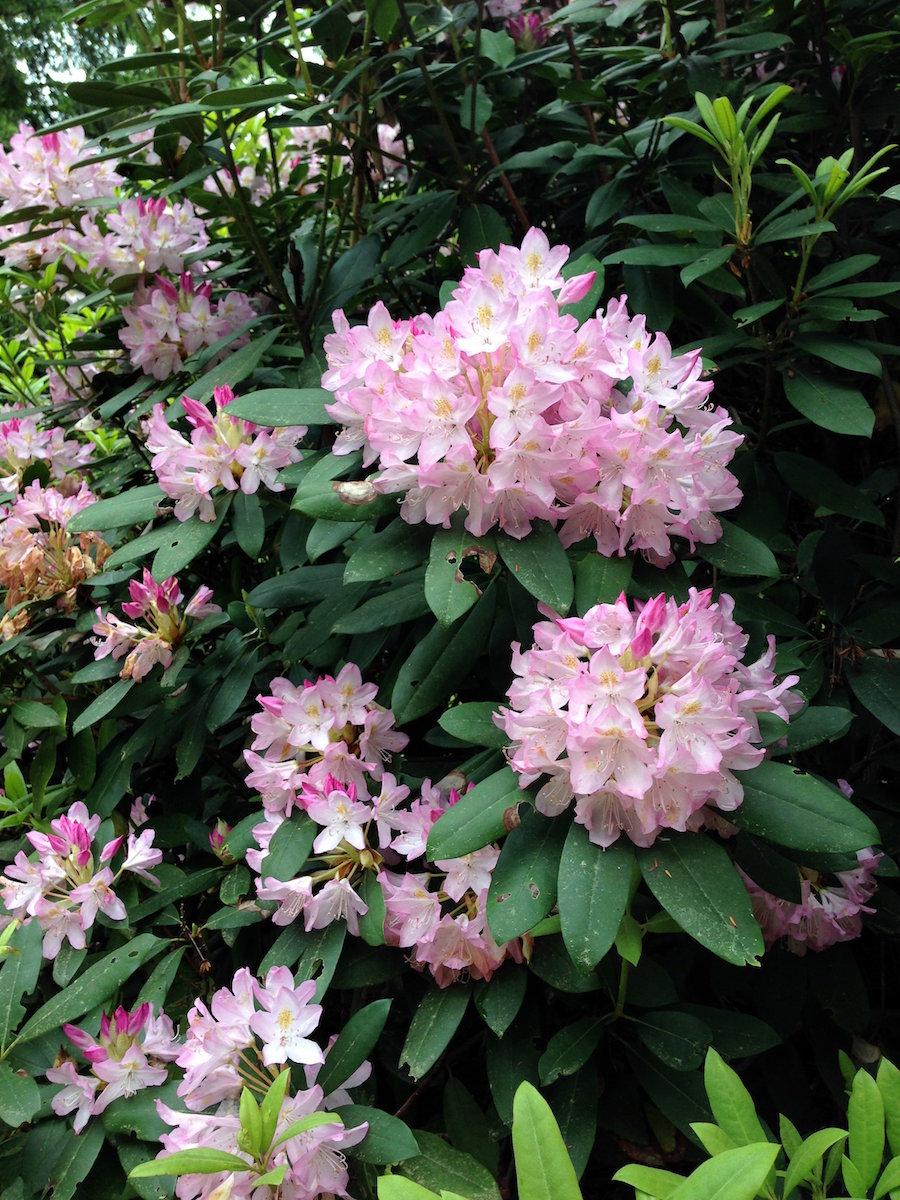 rhodedron blooms.JPG
