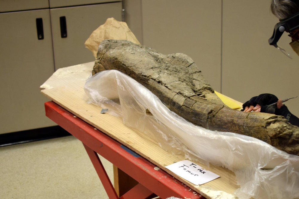 Cleaning a T-Rex Femur