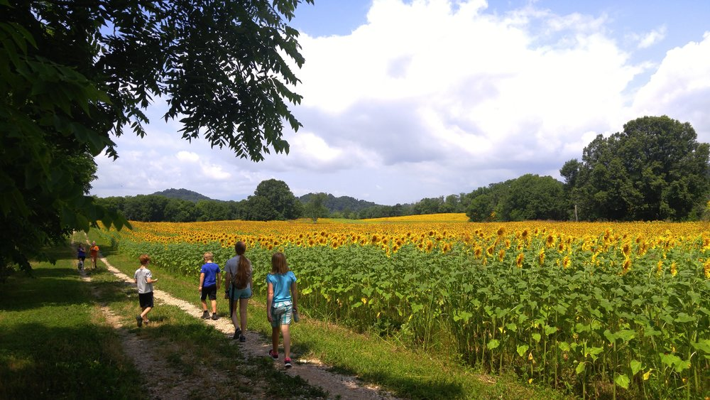 Walking along one of many fields of sunflowers at Ijams.
