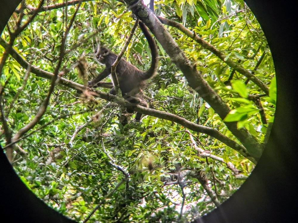 Spider monkey as seen through my binoculars.