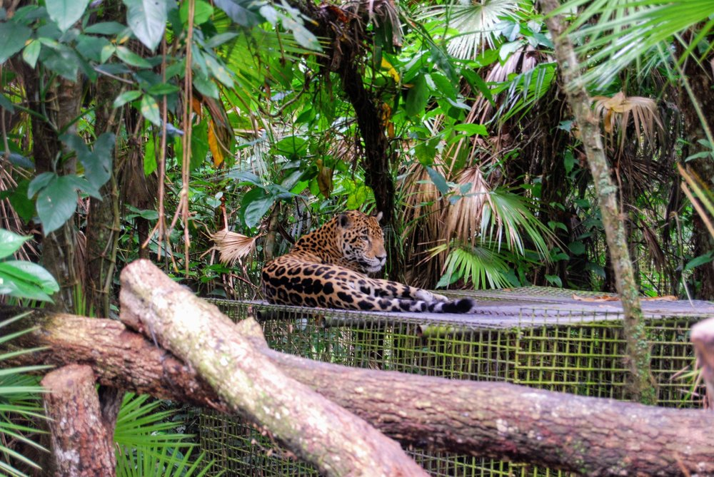 One of the handful of jaguars at the Belize Zoo.