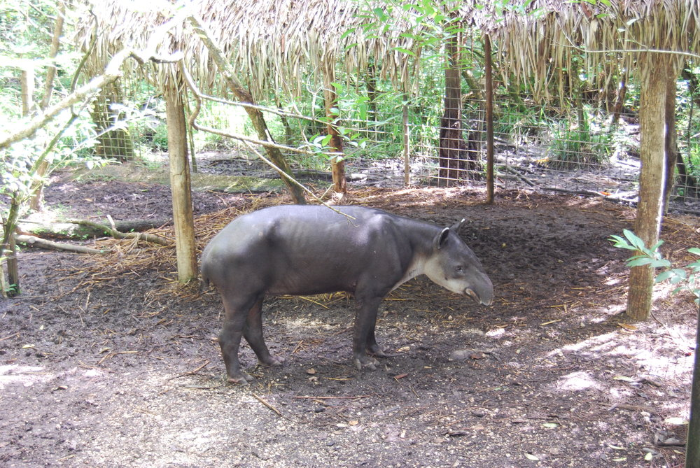 "You can see why tapirs are called ""mountain cows."""