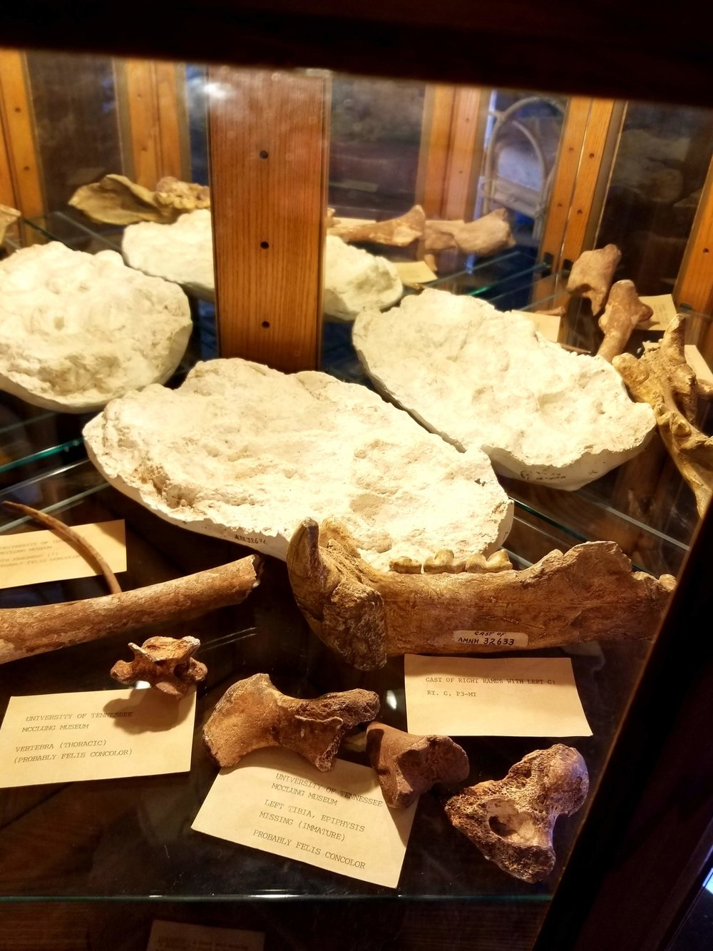 Pleistocene jaguar bones and footprints