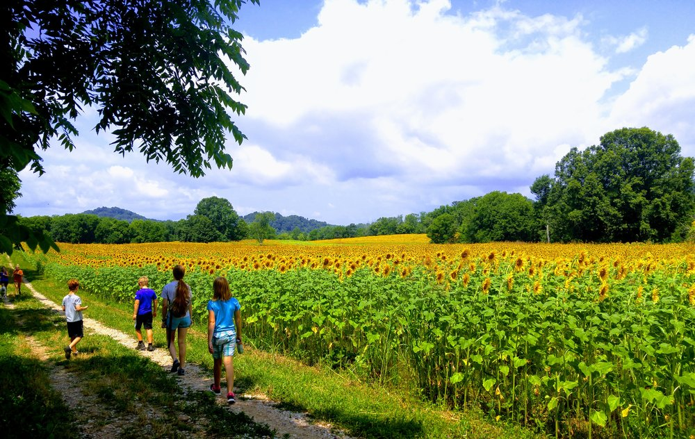 sunflowers-ijams-knoxville-tennessee.jpg