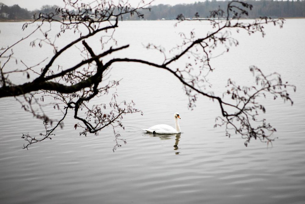 Subtle Swan.Birkerød, Denmark. 2017