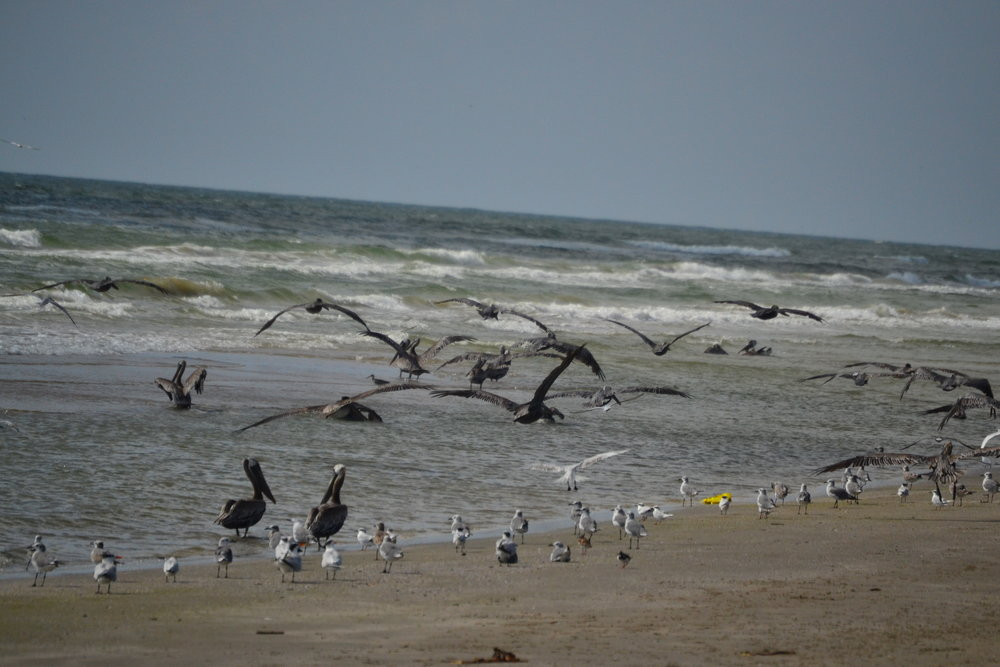 Brown Pelicans staging up during Dusky Anchovy migration