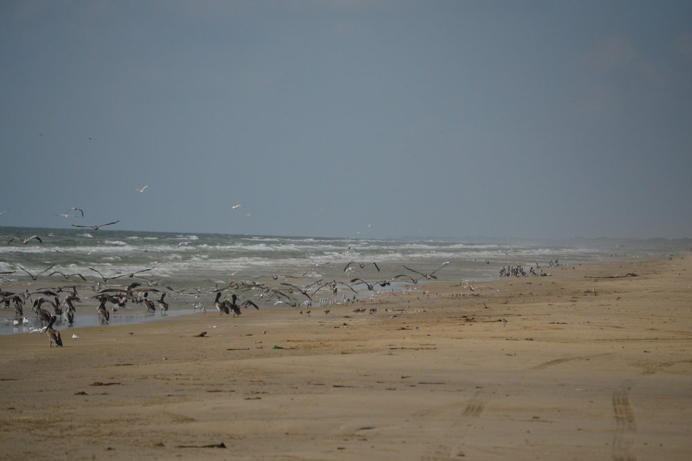 Dusky Anchovy migration, birds staging up