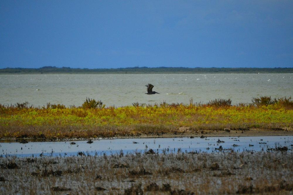 Brown Pelican, Laguna Madre of Padre Island