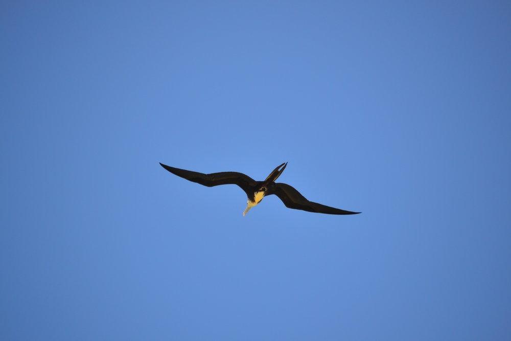 Juvenile Frigate Bird soaring the shorefront