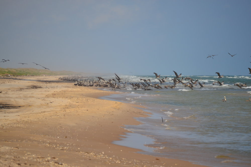 The late summer/early fall buildup of birds coincides with the dusky anchovy migration