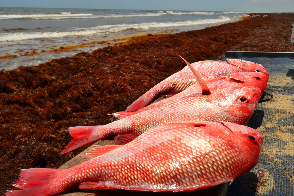 Red Snapper reef fishing during heavy weed season