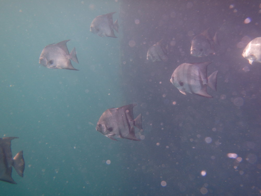 Atlantic spadefish several miles of the beach on structure