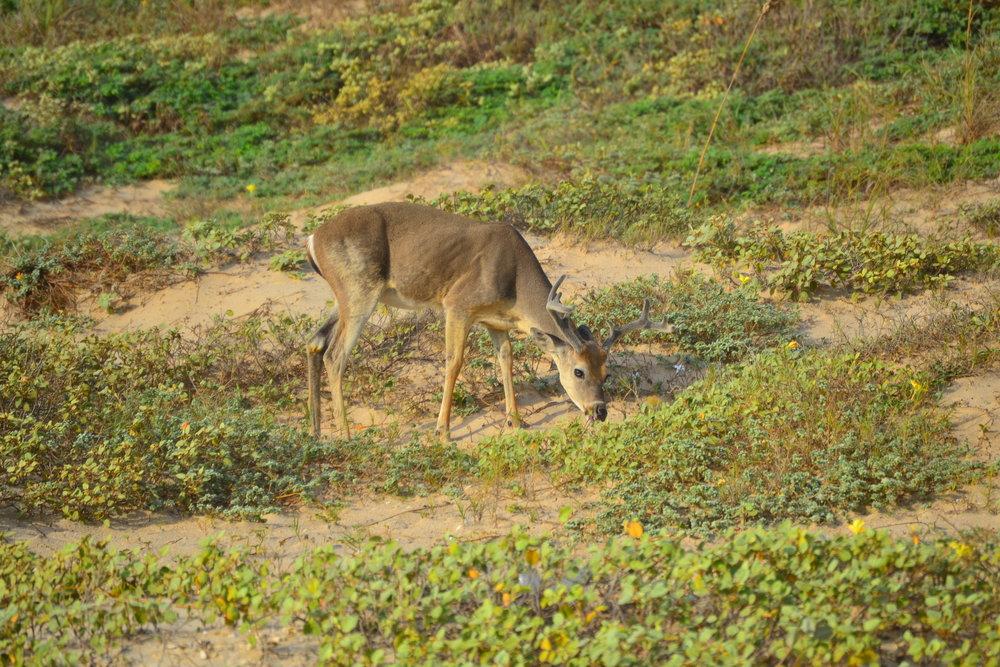 September buck foraging amongst the Gulf Croton.