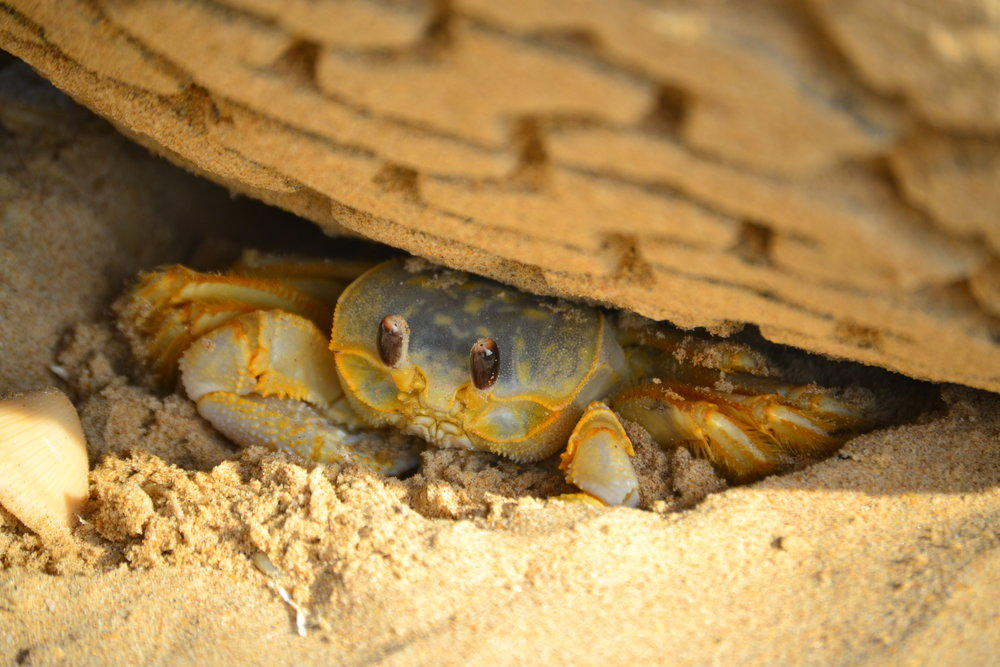 Ghost crabs are a common sight along the water's edge.