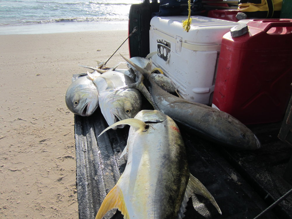 Jack Crevalle are a hard fighting fish