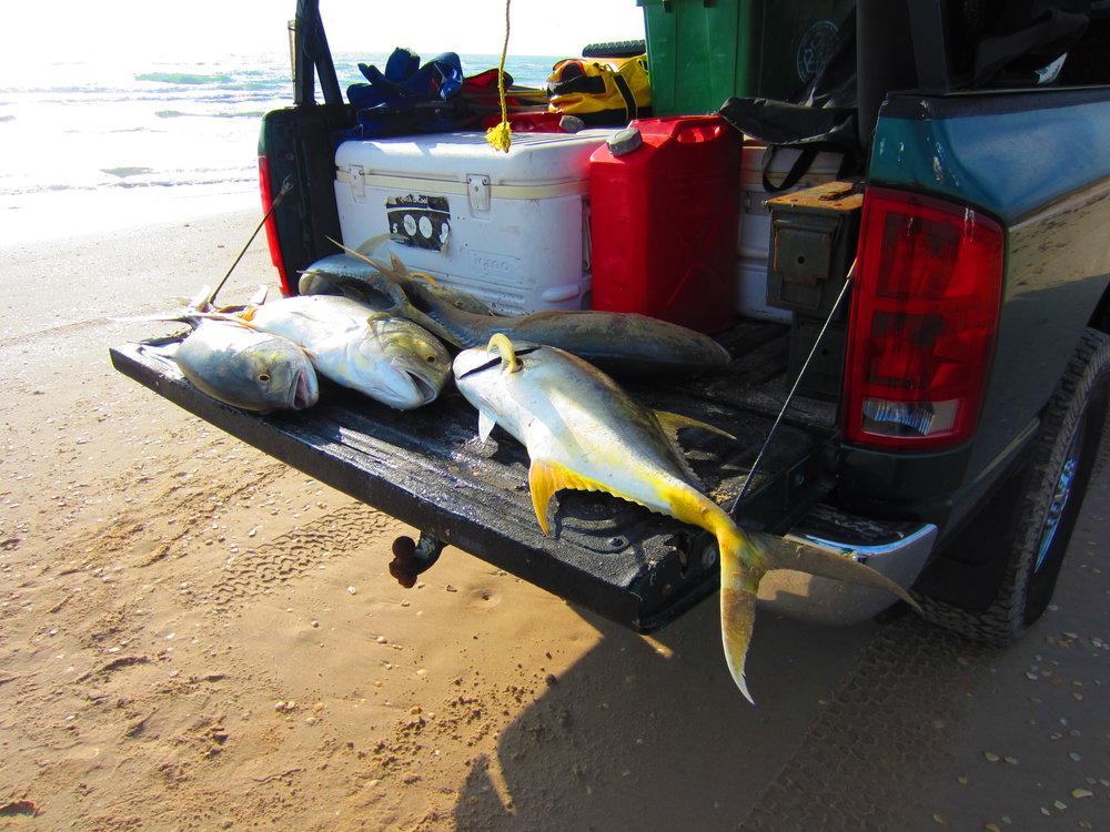 Jack Crevalle sharkbait haul