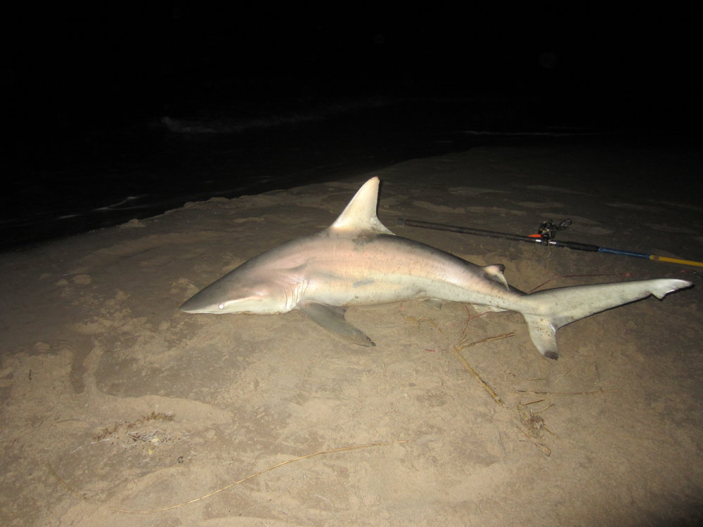 Casted bait blacktip shark