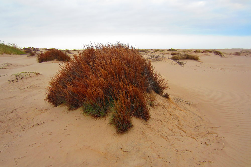 Plant colonization/sand stabilization, 5.5 miles west of dunes near Lower Laguna Madre