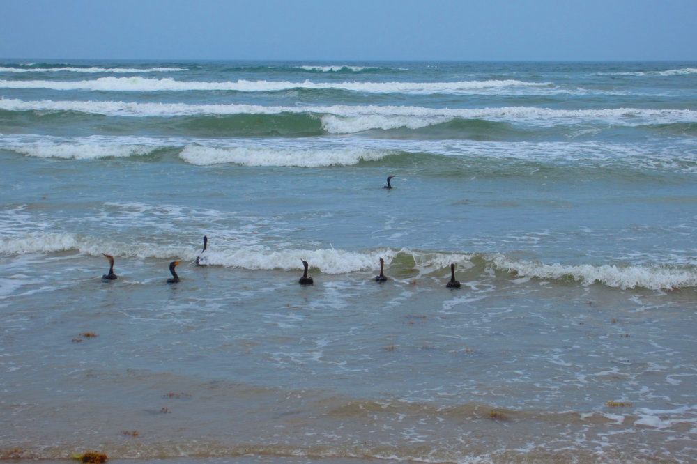 Double Crested Cormorants in May