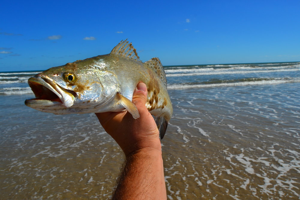 Golden Croaker, Black drum, Redfish, Speckled Trout. - Padre Island National Seashore