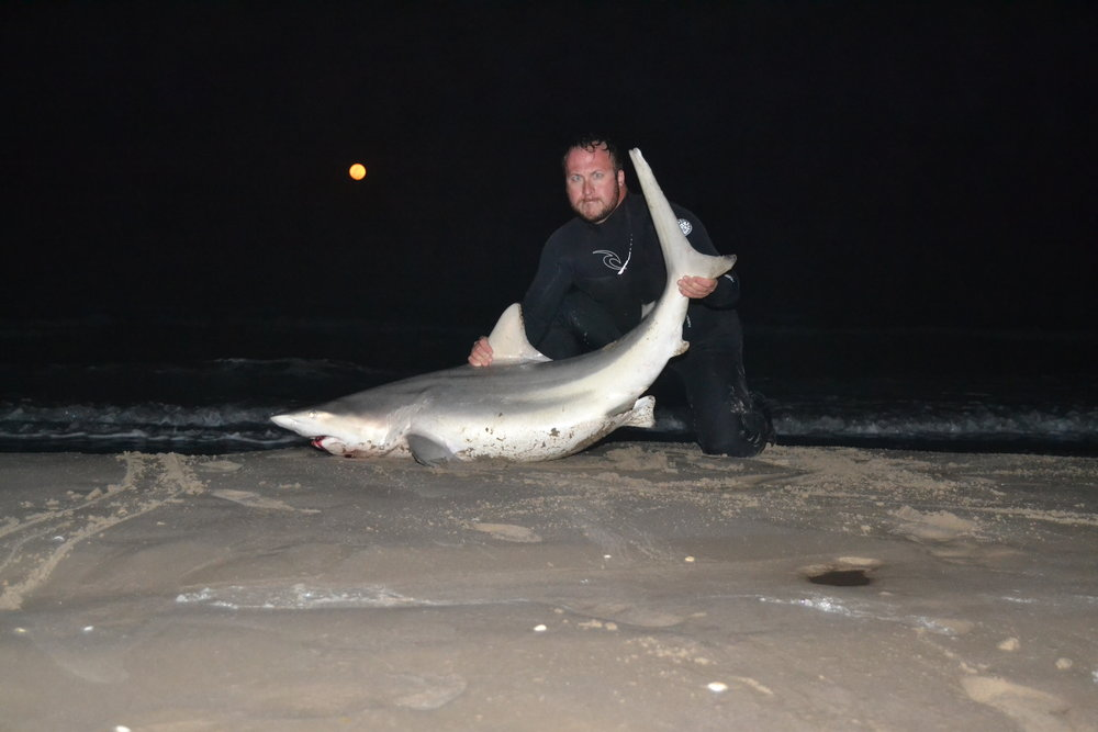 6'1'' Sandbar Shark, 5'9.5''  Sandbar Shark, Three Blacktip Sharks-5'7'' largest, one double shark hookup on one drop, Spanish Mackerel. - Padre Island National Seashore