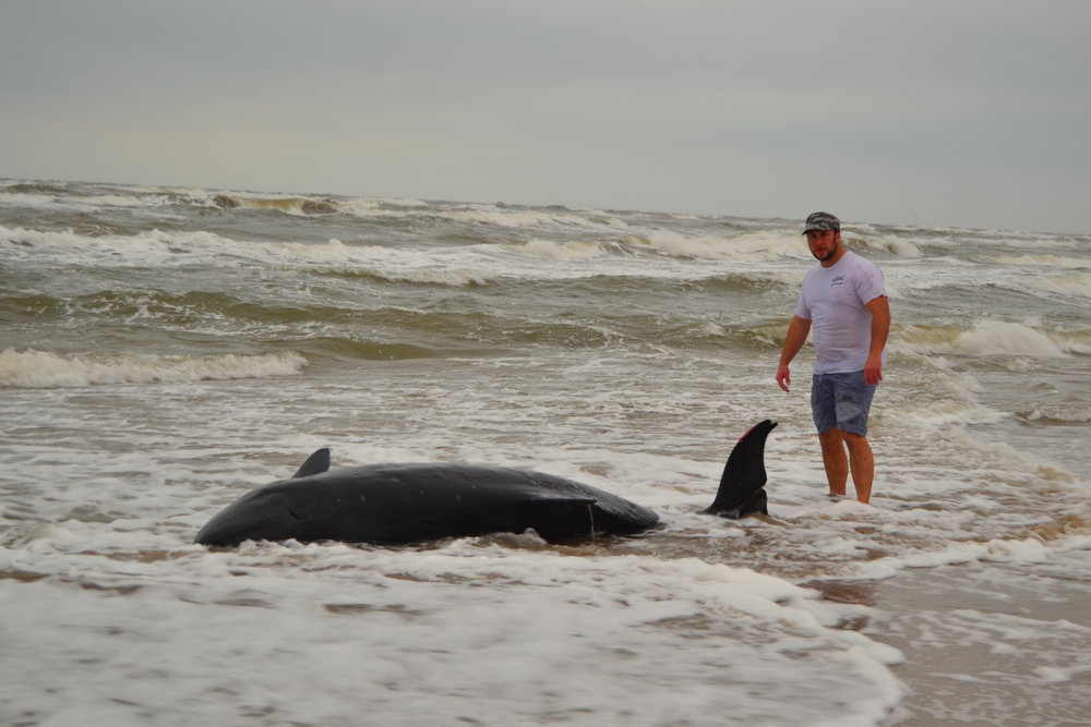 Beached Pygmy Sperm Whale - Padre Island National Seashore
