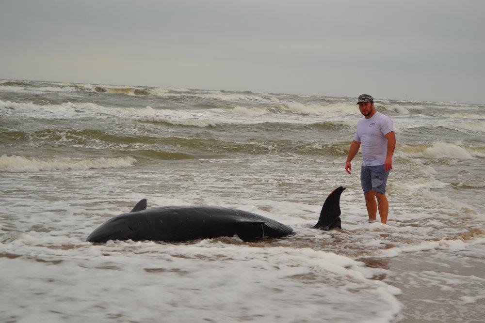 Beached Pygmy Sperm Whale - Padre Island National Seashore